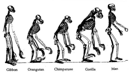 science2themax / human evolution, Skeleton
